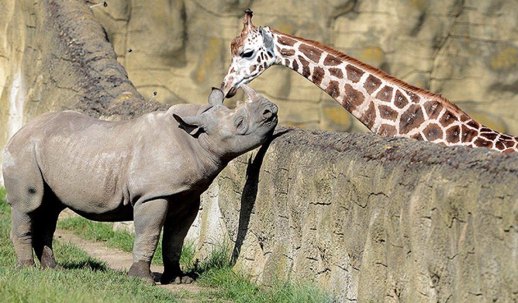 Rino y jirafa