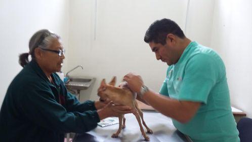 Salvan de sarna a perrita chihuahua en el hospital público veterinario de Naucalpan