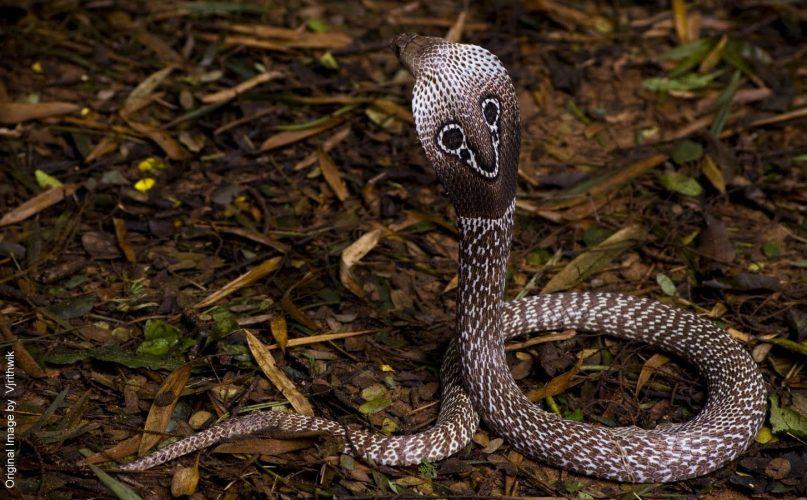 La famosa Cobra de Anteojos que mato al domador malasio