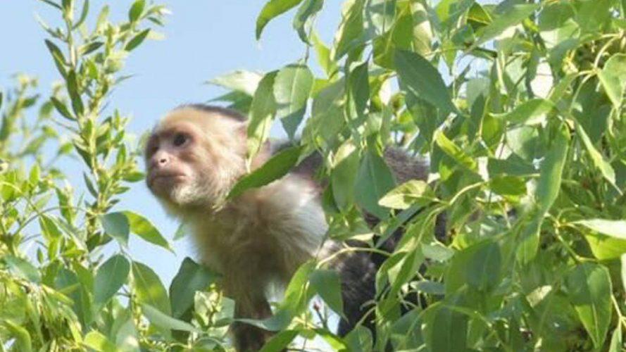 Mono capuchino ya tiene cuenta de twitter y reaparece.