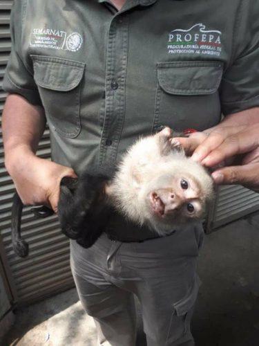 ¡Hoy el Gran Día! El Mono Capuchino ha sido capturado