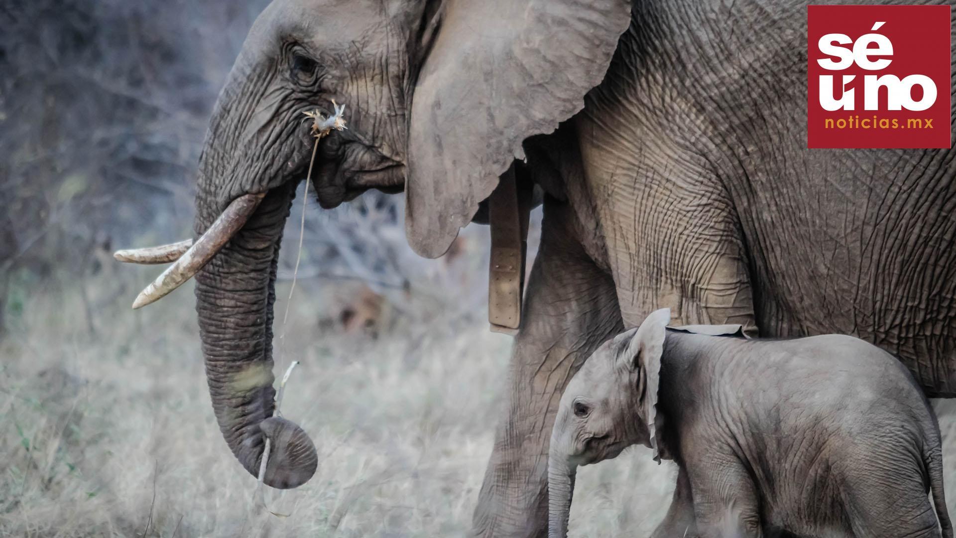Tras una prolongada sequía al menos 200 elefantes han muerto de hambre en el turístico Parque Nacional de Hwange, el más grande de Zimbabue y fronterizo con Botsuana, según confirmaron fuentes oficiales.