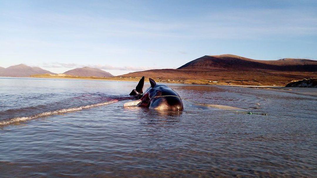 En este año se han documentado más de dos casos en los que gigantes marinos mueren por la ingesta de residuos plásticos