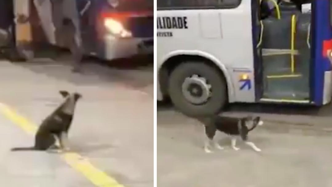 En redes sociales se volvió viral un simpático perrito que todos los días acude a la misma parada de autobús para esperar al conductor que le regala comida.