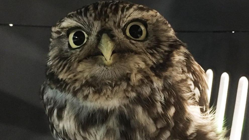 Un búho hembra fue rescatada por el Santuario de Búhos de Suffolk porque estaba muy gordita para poder volar.